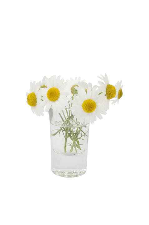 Leucanthemum vulgare flower in a small vase