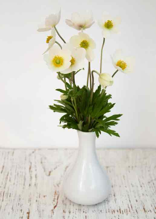 Spring Anemone flowers in a vase against white background